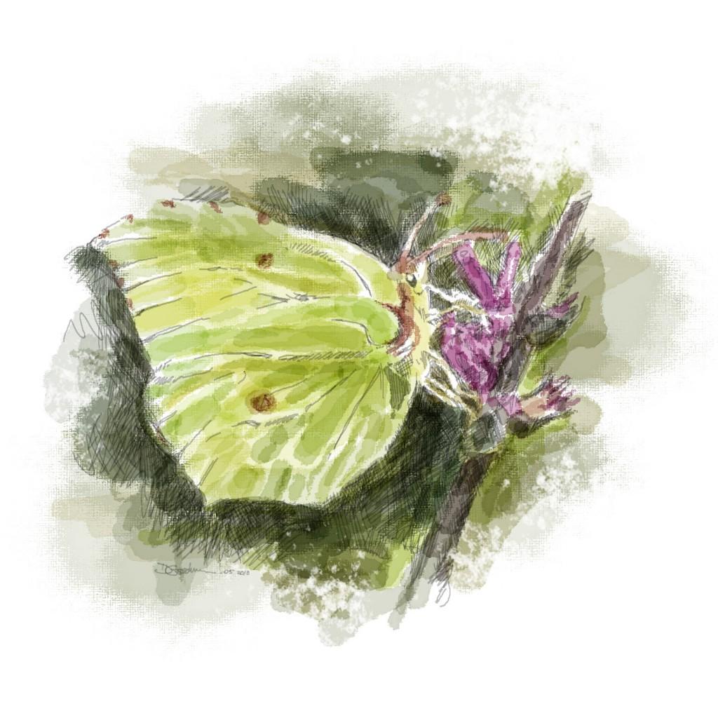 Bettisfield - butterfly
