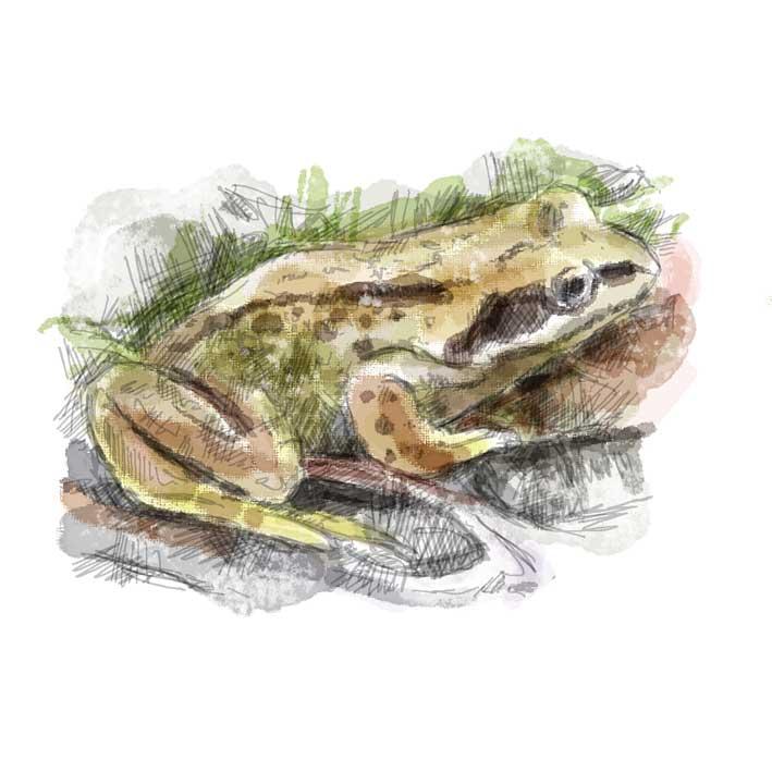 Bronington---frog